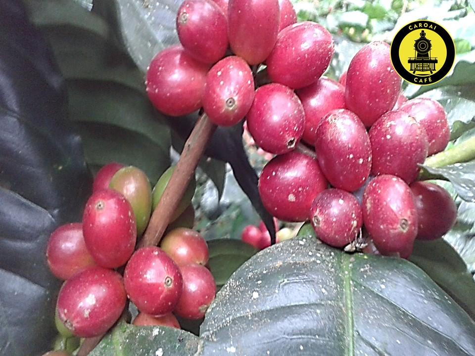 Cerezas de café del cultivo de Caroai Café. Café coffee farm